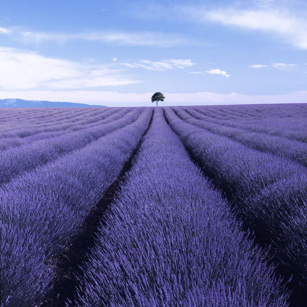 Valensole II, Provence, France By Charlie Waite