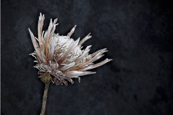 Flower Study 1 - © Lindsay Robertson, seen on Saatchi Art