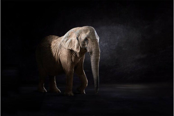 Elephas Africana - © Lindsay Robertson, seen on Saatchi Art