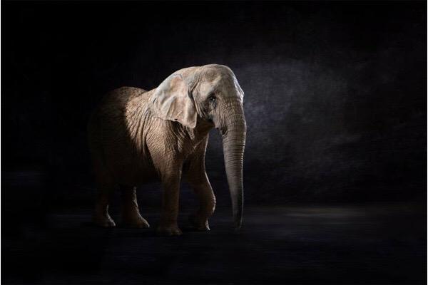 Elephas Africana - © Lindsay Robertson, seen on Saatchi Art