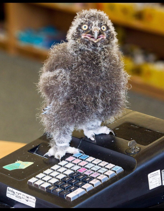 Chick and pin: a three-week-old snowy owl is being allowed to help man the tills at the Scottish Owl Centre in West Lothian to help it to become used to humans KATIELEE ARROWSMITH/SWNS Source: The Times, 14 July 2017